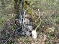 Heavy timbered 8 point Sika