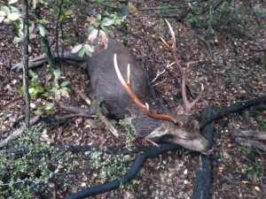 8 point sika stag 2014
