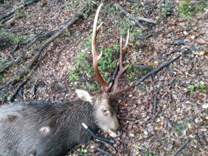 Nice 8 pointer sika stag called in with the Sika XT caller.