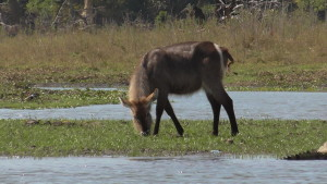 Water Buck female