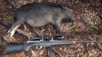 Fat little wild boar